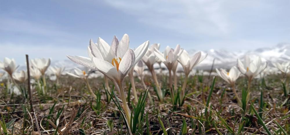 ดอกลิลลี่ป่าในฤดูใบไม้ผลิ