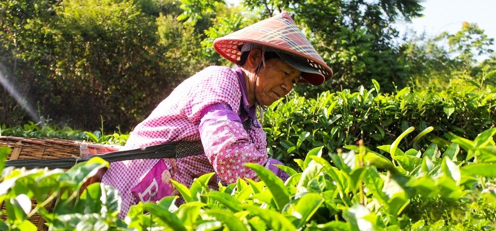 เมืองหลินชาง ยูนนานเข้าสู่ฤดูกาลเก็บใบชาในช่วงต้นฤดูร้อน
