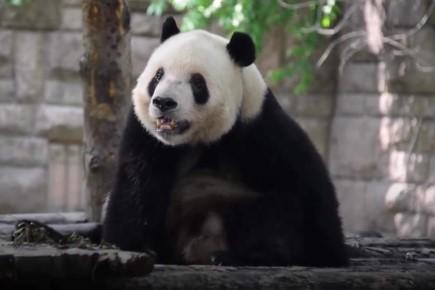 ร้อนจนหอบ! สวนสัตว์จีนจัดของพิเศษ เร่งคลายร้อนแพนด้ายักษ์