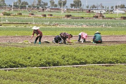 ขายผลิตผลทางเกษตรกรรมที่อำเภอทงไห่ เมืองอี้ซี มณฑลยูนนาน  เป็นไปอย่างสะดวกสบายและรวดเร็ว