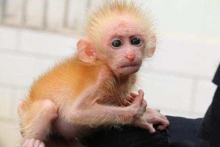 ดูแววตานั่นสิ!ลูกลิงกังแรกเกิดไร้แม่ โหยหาไออุ่นจากมนุษย์