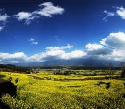 ทุ่งดอกคาโนล่าเหลืองอร่ามกว่า 150,000 โหม่วในอำเภอเถิงชงมณฑลยูนนานกำลังออกดอกบานสะพรั่ง