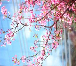 ช่วงฤดูใบไม้ผลิไปชมดอกไม้ในมหาวิทยาลัยของยูนนานกันเถอะ