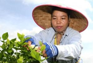 """เหิงเสี้ยน """"หมู่บ้านดอกมะลิ"""" ปลุกชีวิตเกษตรกร"""