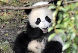 จีนประสบความสำเร็จในการอนุรักษ์และวิจัยแพนด้า