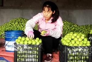 พุทราจีนจากหยวนเจียงเข้าสู่ตลาดและมียอดจำหน่ายที่ดีเพิ่มรายได้ให้กับเกษตรกร