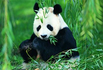 หมีแพนด้าป่าจีนมีปริมาณเพิ่มขึ้น