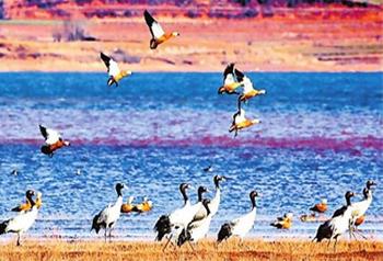 นกกระเรียนคอดำฝูงแรกได้บินอพยบหนีหนาวมาที่ทะเลสาบเนี่ยนหู อำเภอฮุ่ยเจ๋อ มณฑลยูนนาน