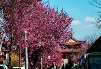 ดอกซากุระฤดูหนาวบานสะพรั่งที่เมืองโบราณต้าหลี่