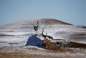 นกกระเรียนคอดำของเขตอนุรักษ์ธรรมชาติแห่งชาติภูเขาต้าซานเปา เมืองจาวทง มณฑลยูนนาน