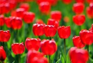 ดอกทิวลิปบานสะพรั่งในเมืองฉางชุน