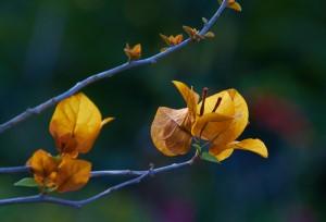 ดอกเฟื่องฟ้าบานสะพรั่งกว่า 40 สี ณ เมืองคุนหมิง