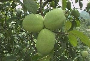 มะละกอในวัดถานหัวเริ่มสุกงอม