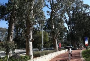 ต้นยูคาลิปตัสอายุกว่าร้อยปีเป็นประจักษ์พยานความงามของทะเลสาบเตียนฉือ