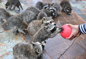 ໂຕແຣດຄູນ(Raccoon)ກີິນເຂົ້າຕົ້ມມົນ