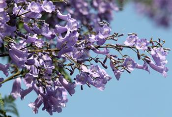 ផ្កា Jacaranda Mimosifolia នៅបឹងណានទីក្រុងមឹងហ្សឺបានរីកយ៉ាងស្គុះស្គាយ