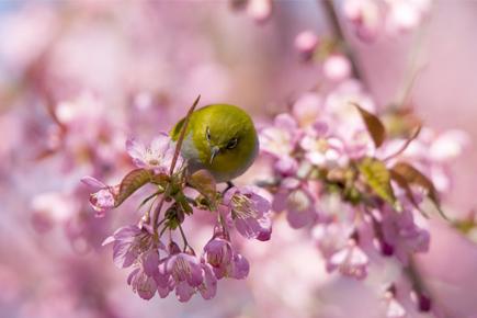 ផ្កា Cherry រីកយ៉ាងស្គុះស្គាយដើម្បីស្វាគមន៍លោកអ្នក